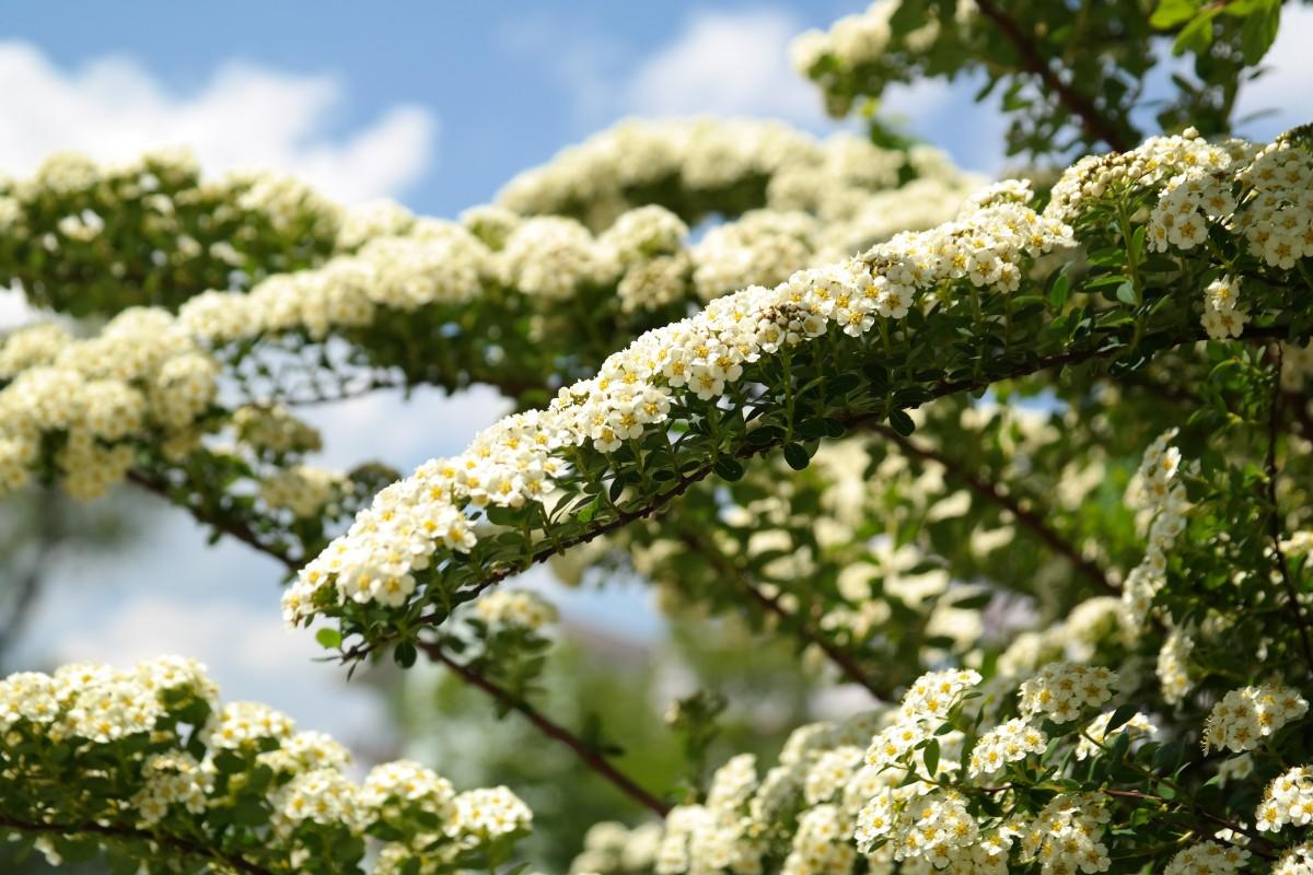 Все белые цветки кустарник дикорастущий