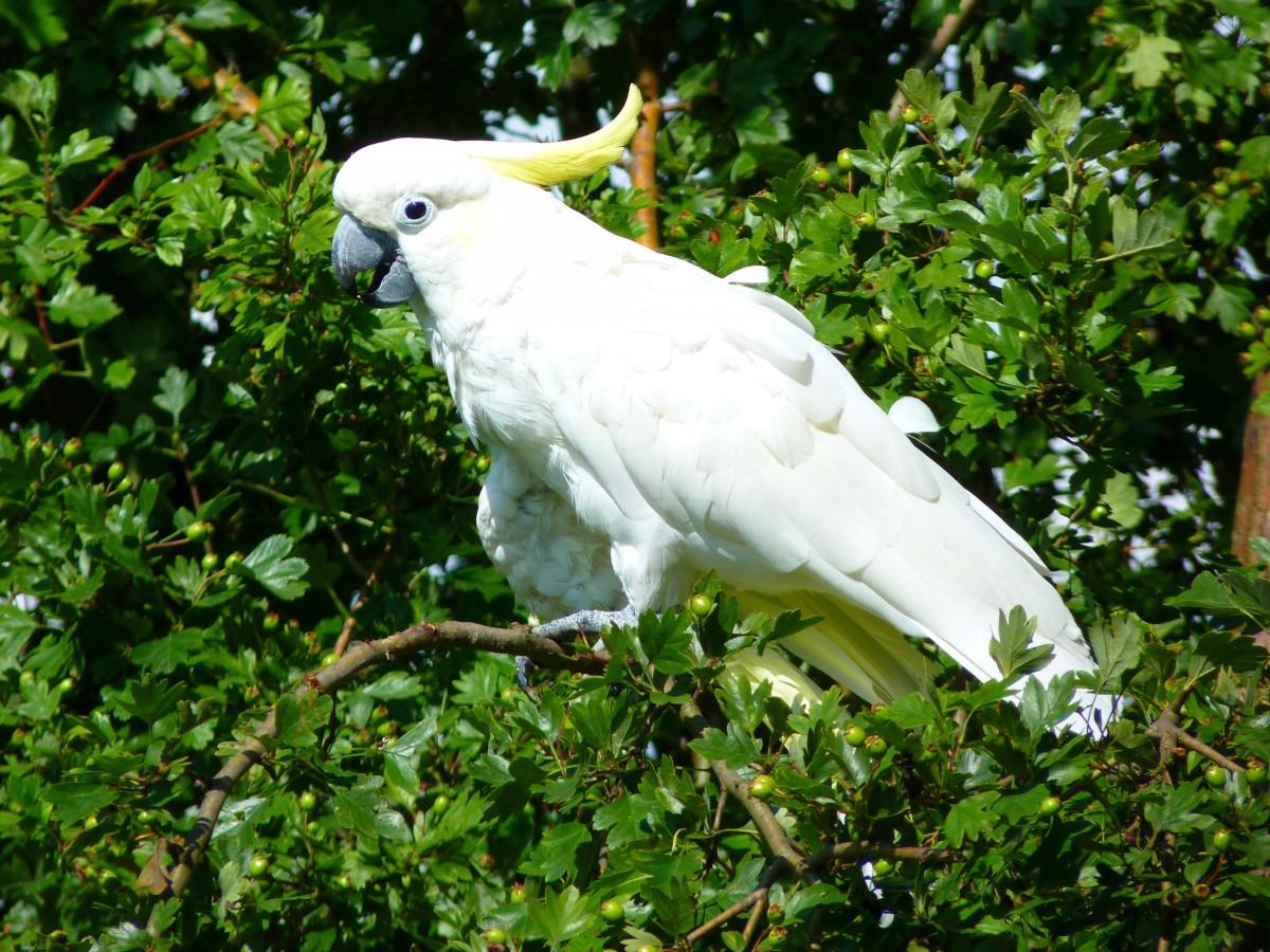 Valkoinen Papukaija