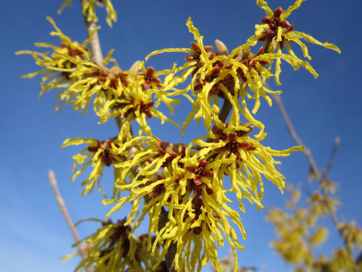 Arbusto Fiori Gialli Primaverili.Immagini Belle Albero Ramo Fiorire Cielo Foglia Fiore