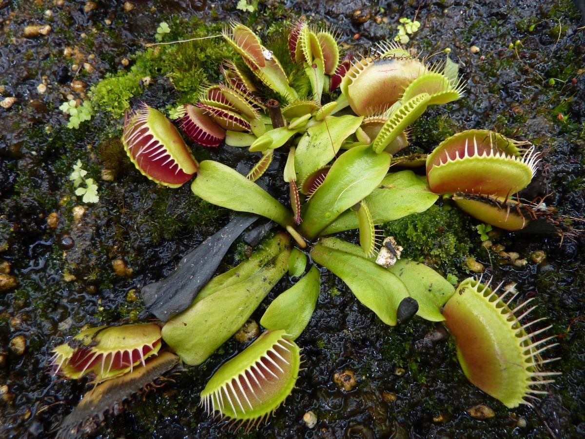 gambar daun berbentuk engsel pada tanaman venus