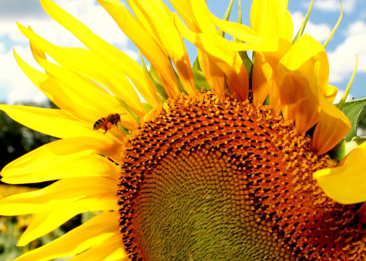 Пчела на подсолнухе  № 657703  скачать