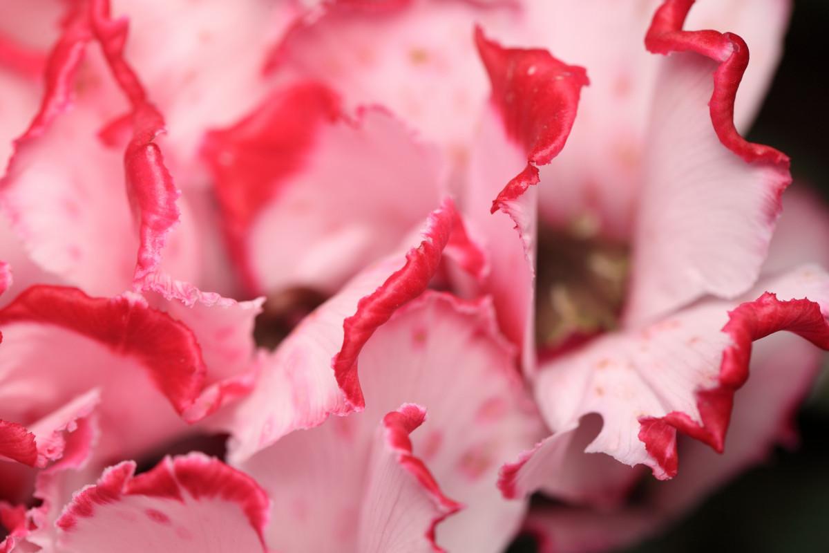 розовая прелесть крупным планом фото