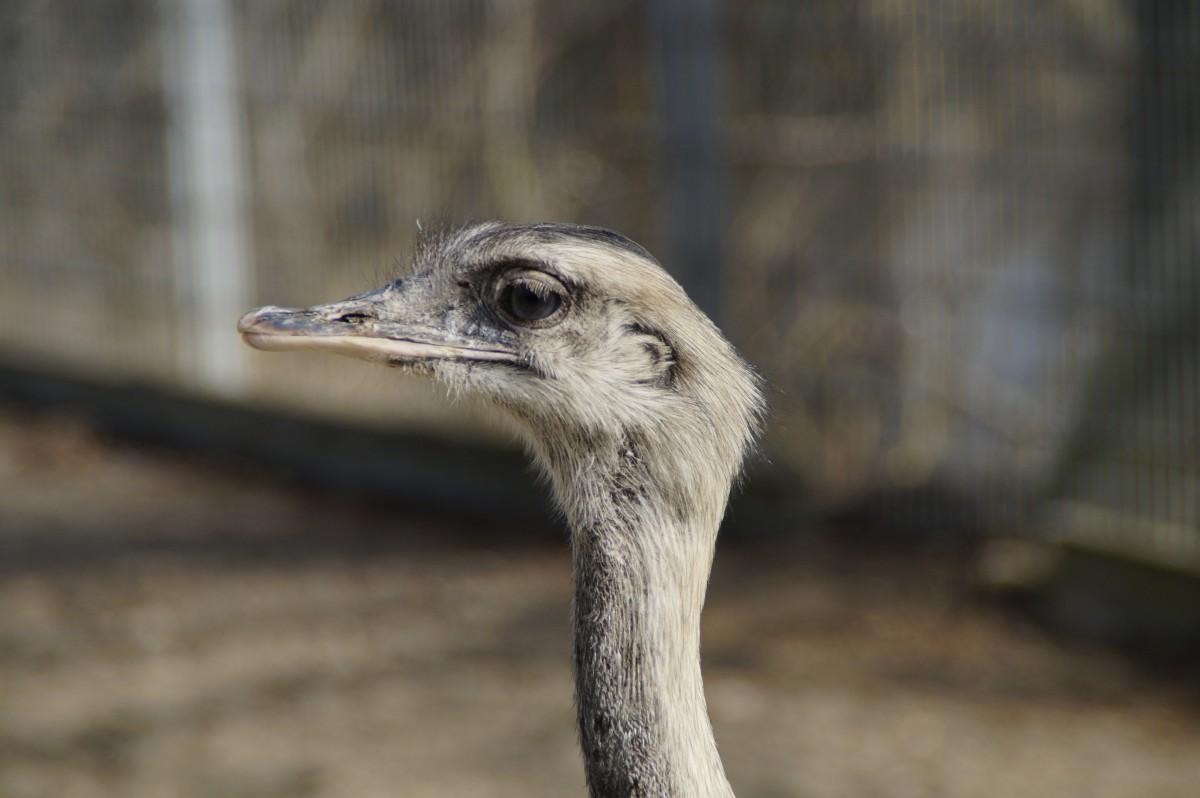 free images watch portrait ostrich close up neck