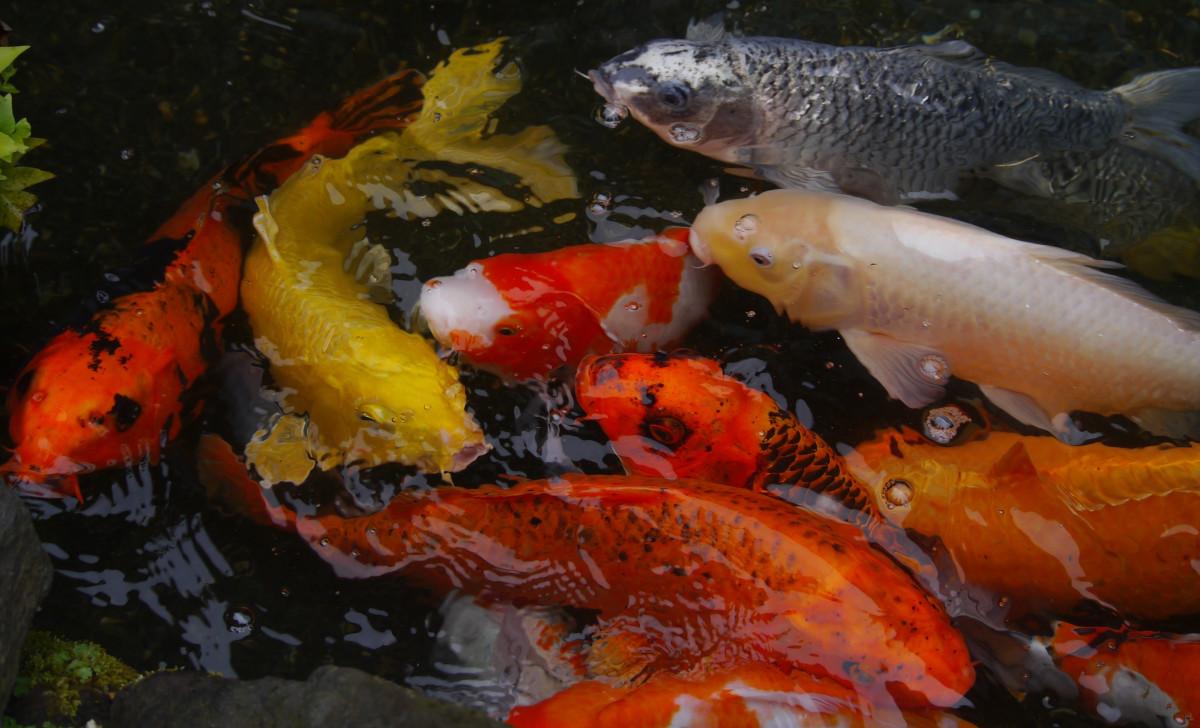 aquarium_fish_colored_carp_koi_fish_bree