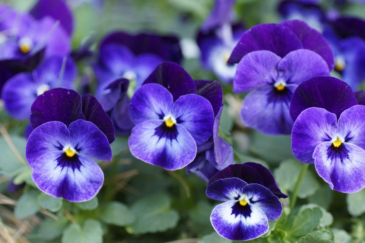 Images gratuites la nature p tale floraison flore il fleur de printemps alto - Image fleur violette gratuite ...