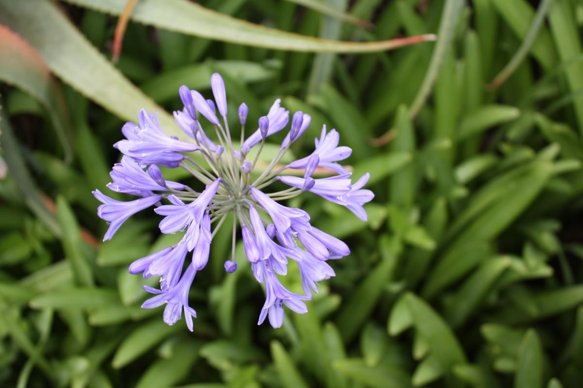kostenlose foto natur gras bl hen wiese blume lila kraut produzieren gem se botanik. Black Bedroom Furniture Sets. Home Design Ideas