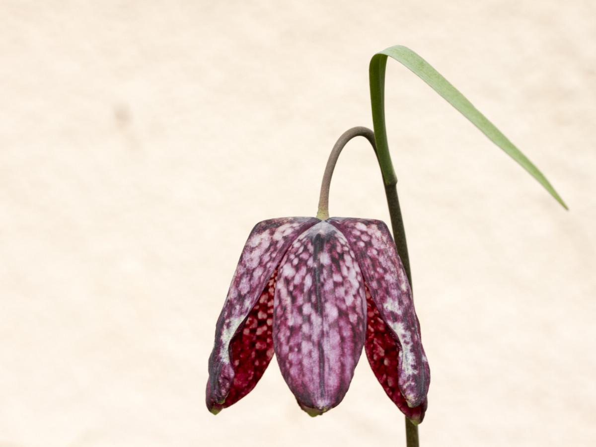 Images gratuites noir et blanc fleur p tale rouge l 39 automne monochrome feuille d 39 rable - Plante a feuille rouge ...
