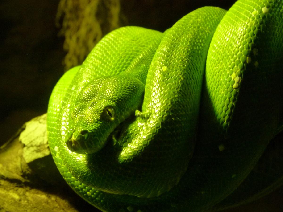 мамба рептилии