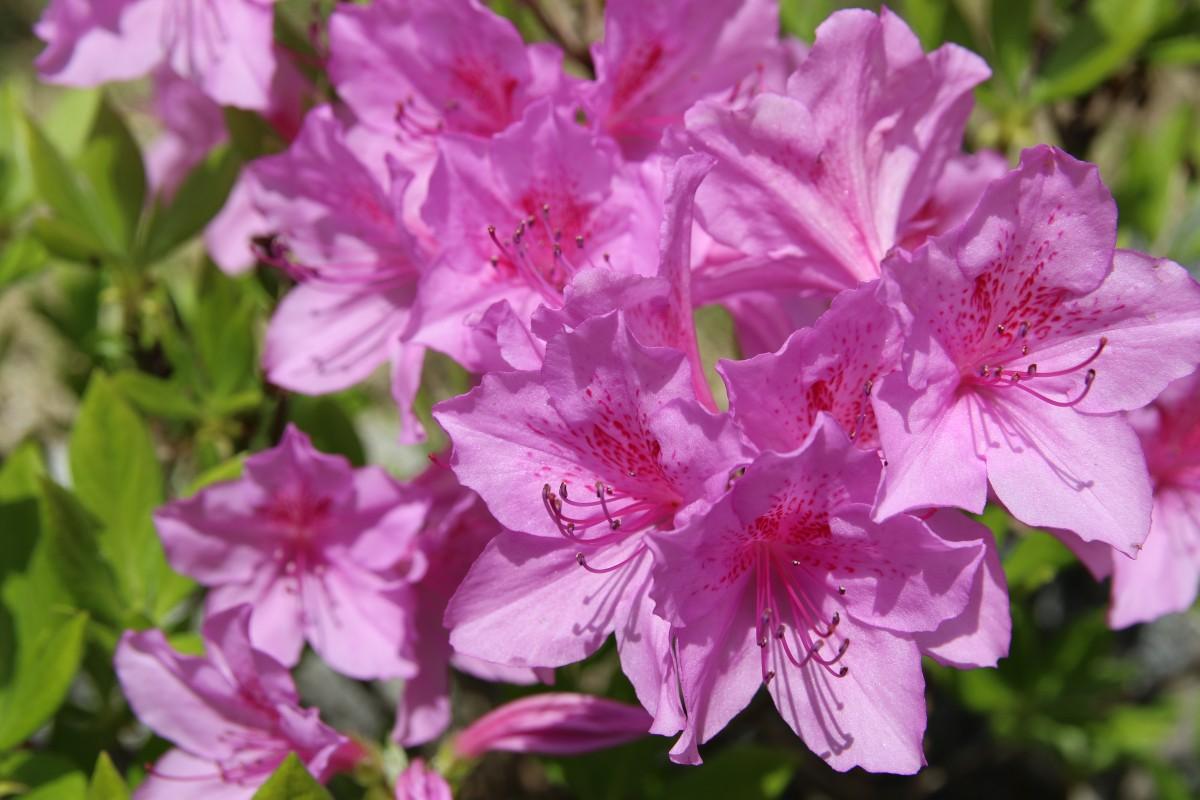 картинки азалии цветка водолазкин-современный писатель, литературовед