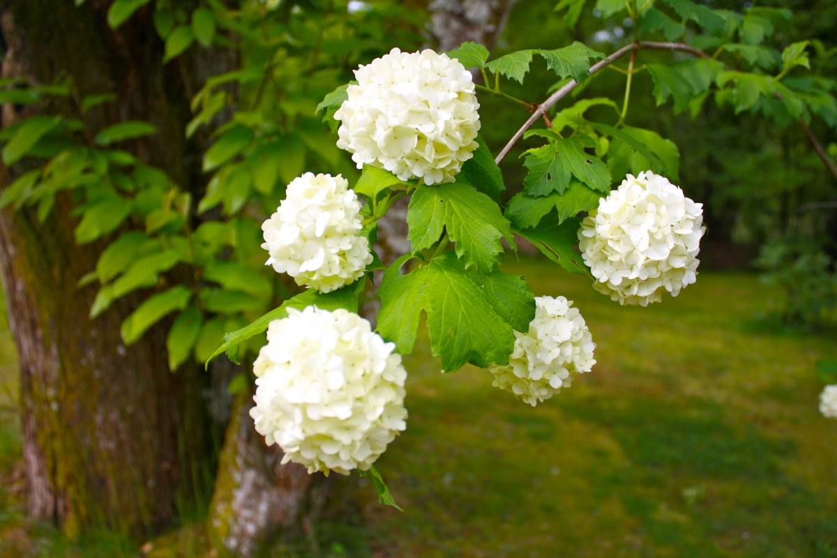 Fotos gratis blanco flor p talo hortensia viburnum for Planta ornamental blanca nieves