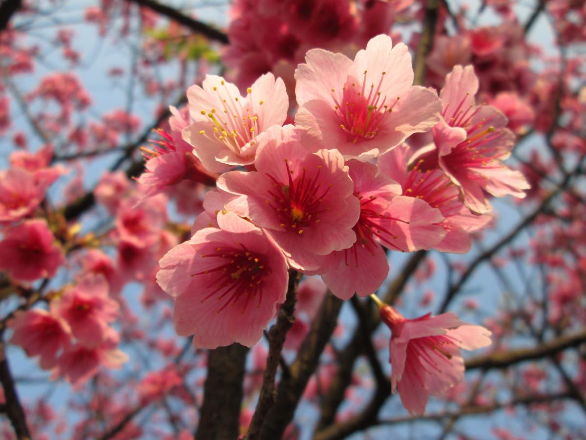 Immagini belle albero ramo fiorire petalo primavera for Pianta di ciliegio