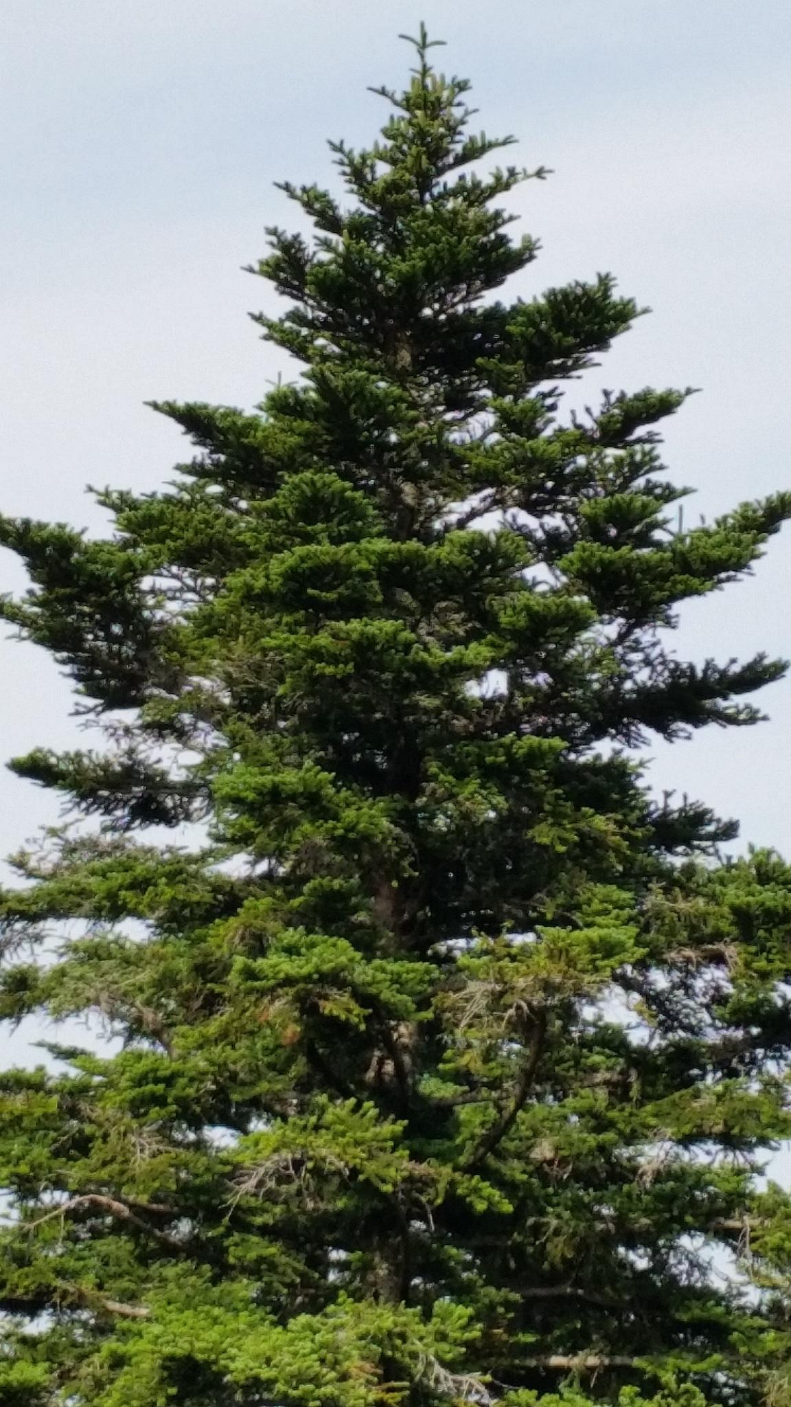 Schwarzer Weihnachtsbaum.Kostenlose Foto Landschaft Baum Natur Ast Kiefer