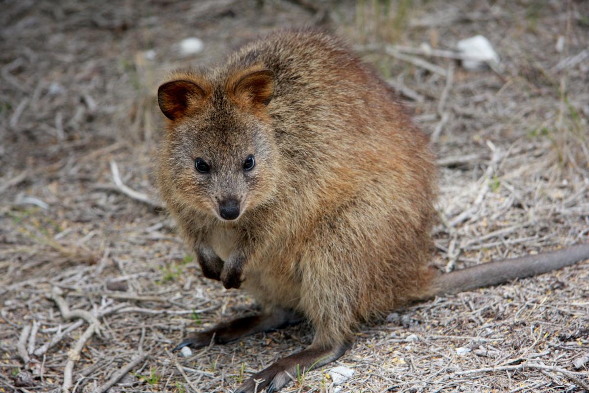 wildlife mammal rodent fauna kangaroo wallaby australia vertebrate marsupial western australia rottnest island fox squirrel quokka setonix brachyurus