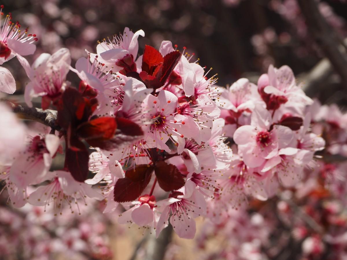 просто картинки с вишневым цветом кровать, сшитое или