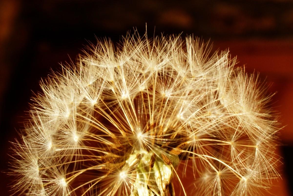 Free Images : white, dandelion, flower, sparkler, garden, flowers ...