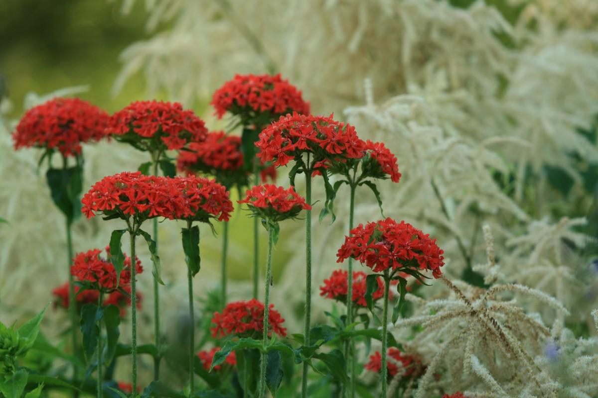 Images gratuites herbe p tale t printemps flore fleur rouge arbuste achill e plante - Arbuste fleur rouge printemps ...