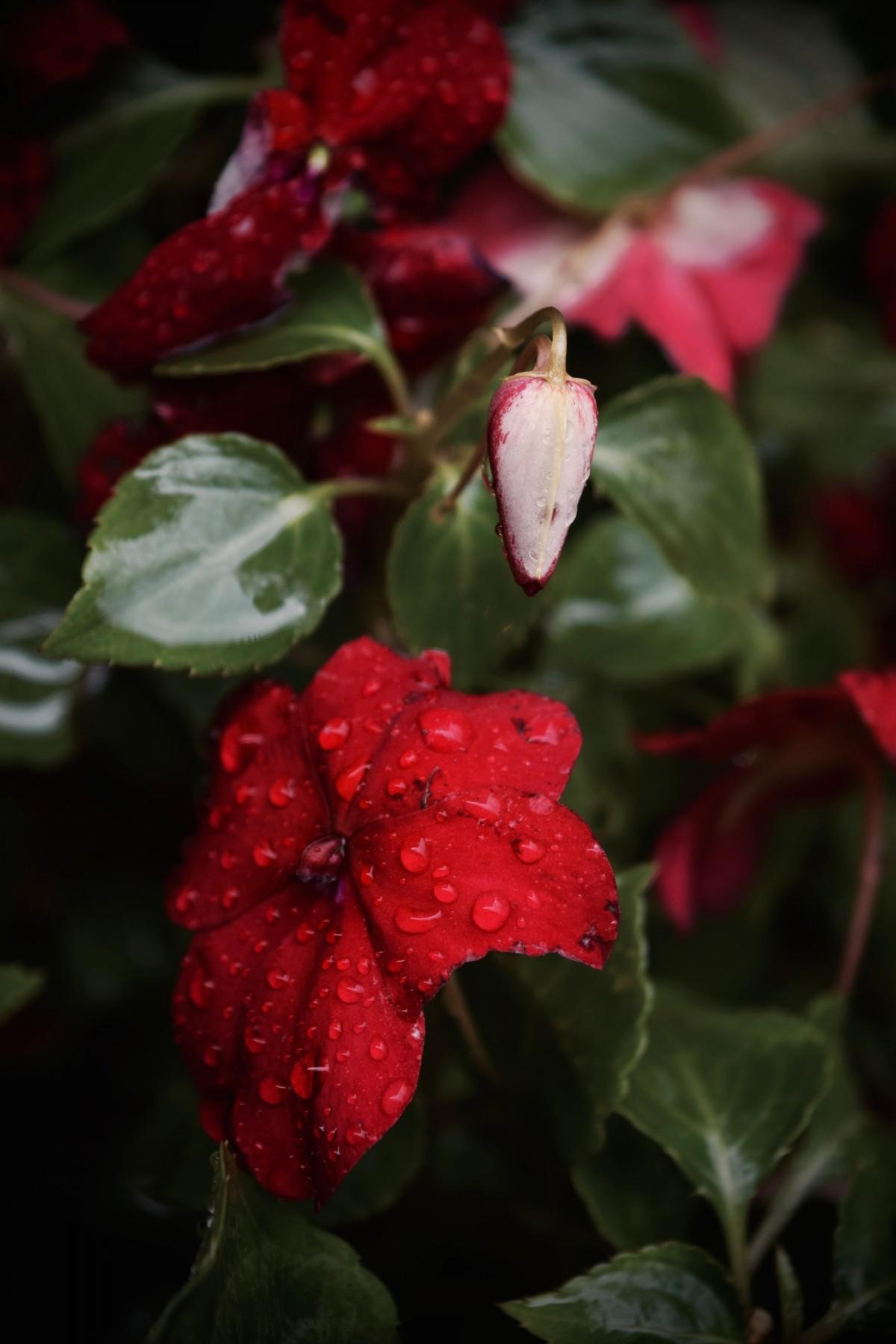 Images gratuites la nature fleur feuille p tale for Plante feuille rouge