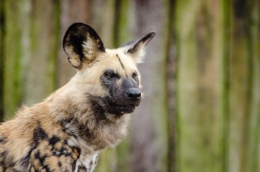 Afrikanischer Wolfshund