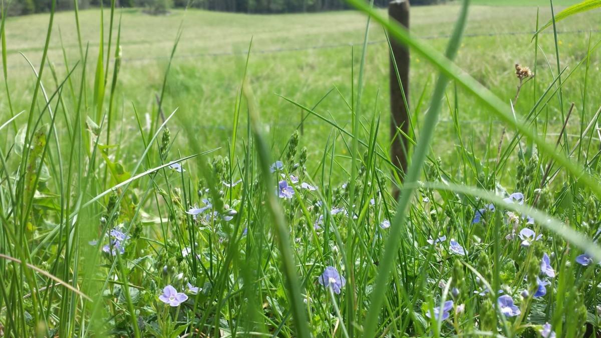 gräs växt fält gräsmatta äng prärie blomma sommar vår beskära flora vild blomma säng gräsmark Sverige ögontröst söt gräs gräs familj Teveronika teve ron ica mormor glasögon te renpris Tjus GER