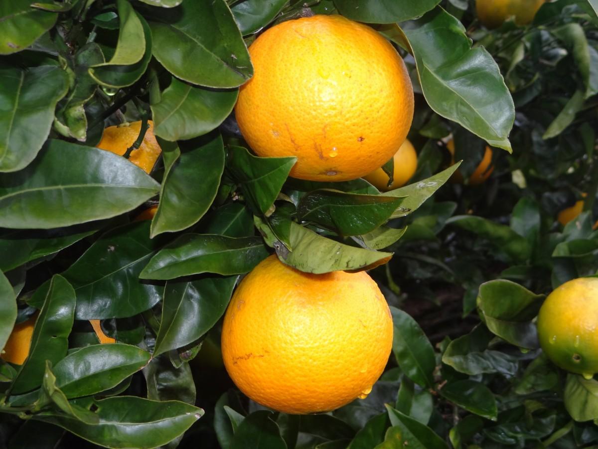 Free Images Fruit Flower Produce Tangerine Calabaza