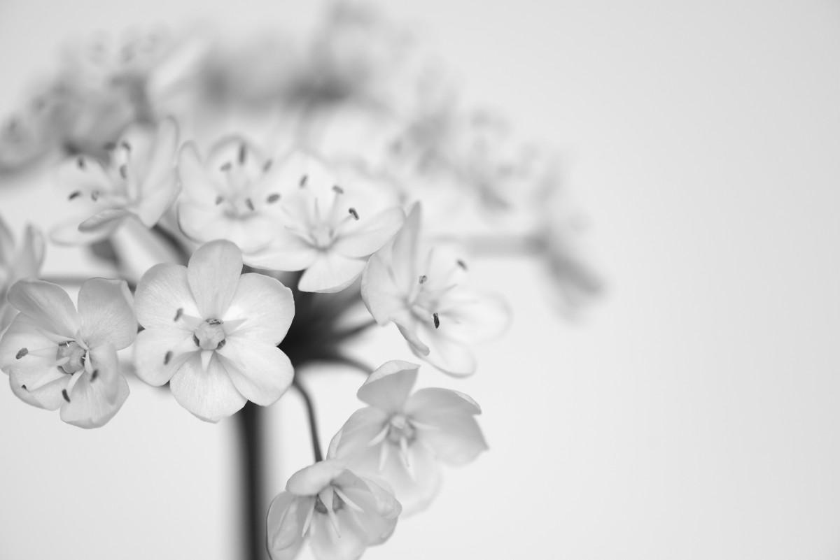 Fotos Gratis : Rama, Flor, En Blanco Y Negro, Fotografía