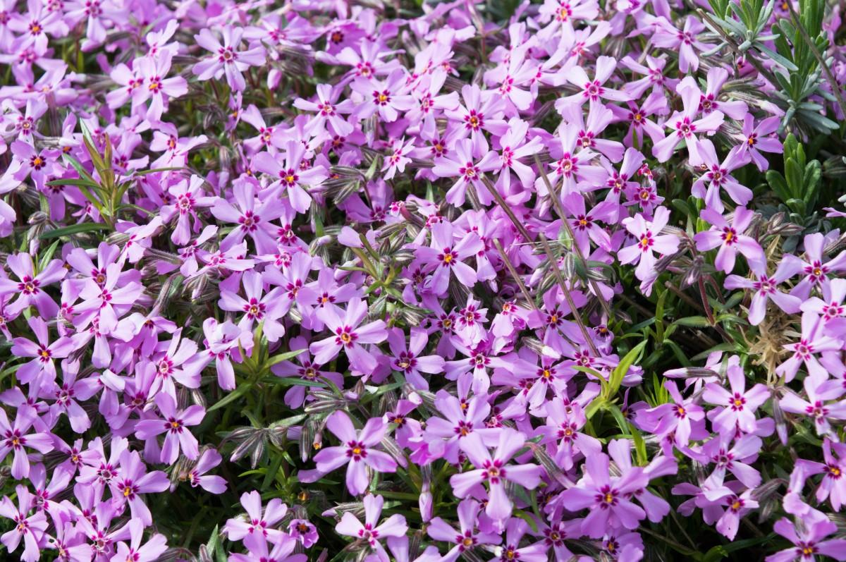 kostenlose foto natur blume lila kraut botanik flora wildblume lilane blumen strauch. Black Bedroom Furniture Sets. Home Design Ideas