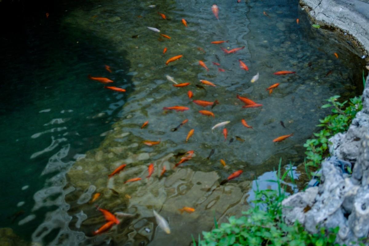 Fotos gratis al aire libre pescado koi pez ornamental for Estanque para koi
