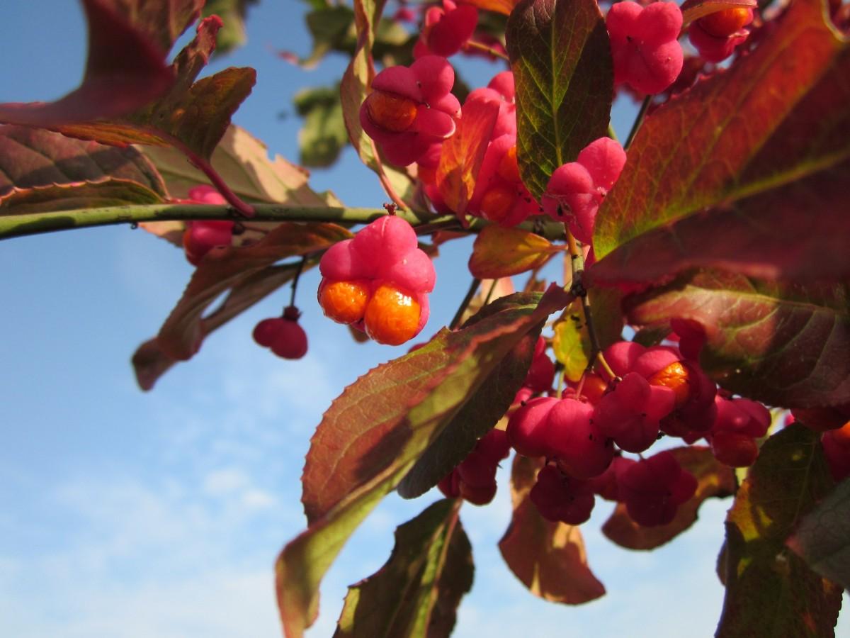 Images gratuites arbre branche fruit baie fleur - Arbre feuille rouge fruit rouge ...