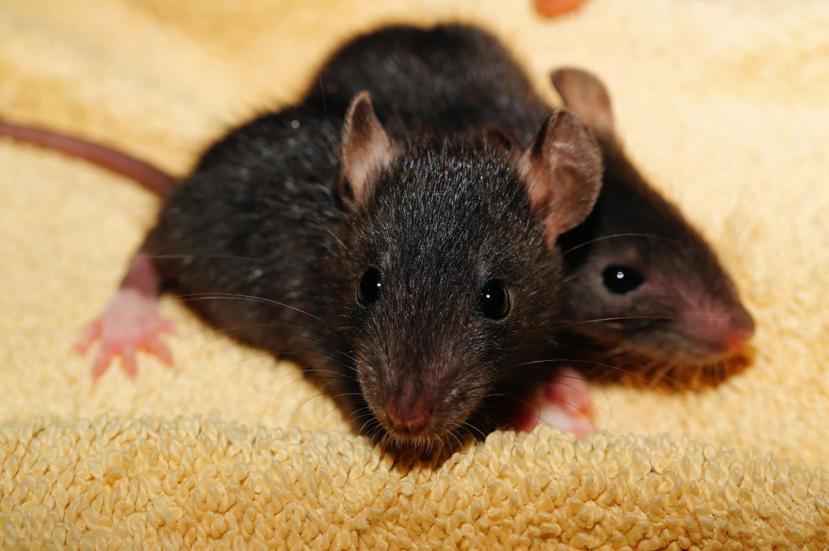 Жду, картинка мышей и крыс