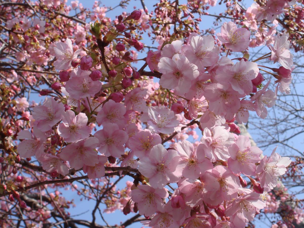 картинки сакуры в цвету полностью без компаса глуши