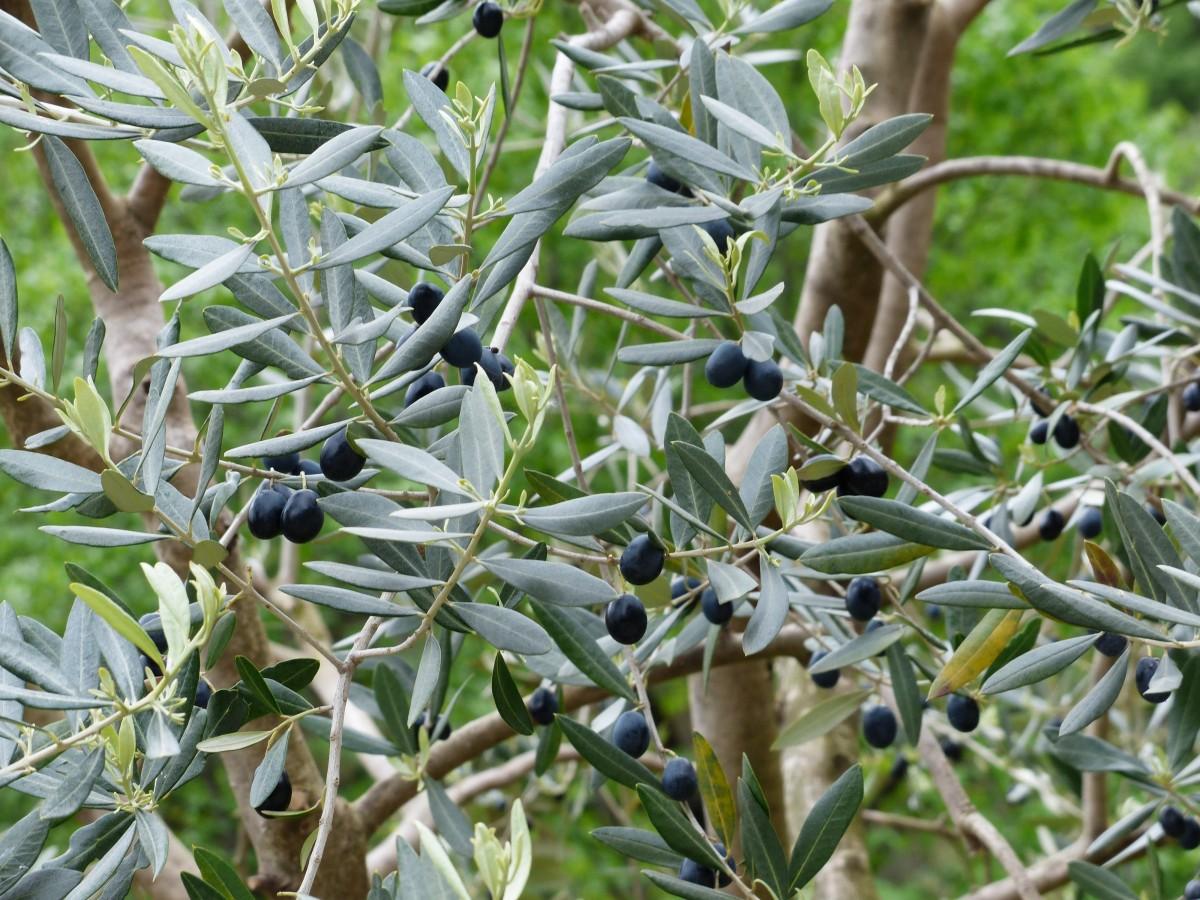arbre branche plante fruit fleur aliments herbe produire surgir à feuilles persistantes flore arbuste fruits Olives olive Romarin Olivier plante à fleurs branche d'olivier Olea europaea Arbre réel Plante ligneuse Plante terrestre