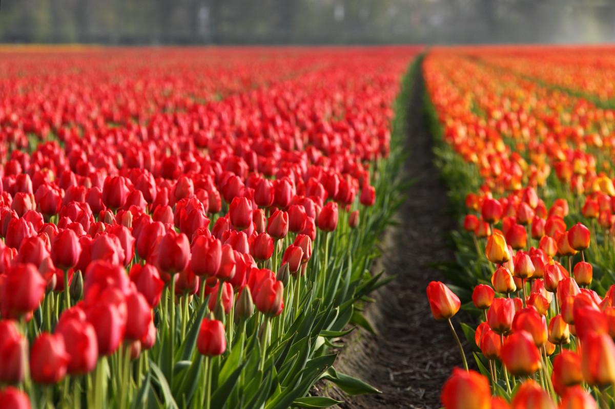 Цветы поле тюльпанов и