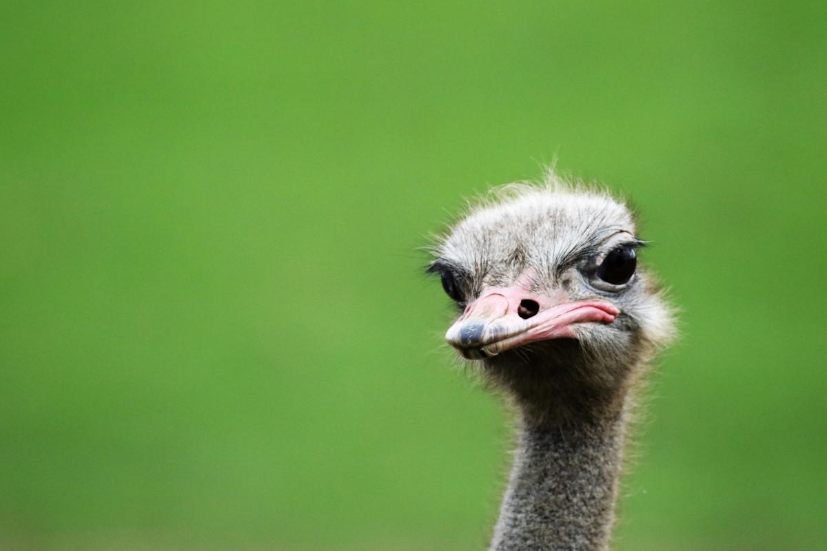 рекламных материалов прикольные фото страусов решили проколоть
