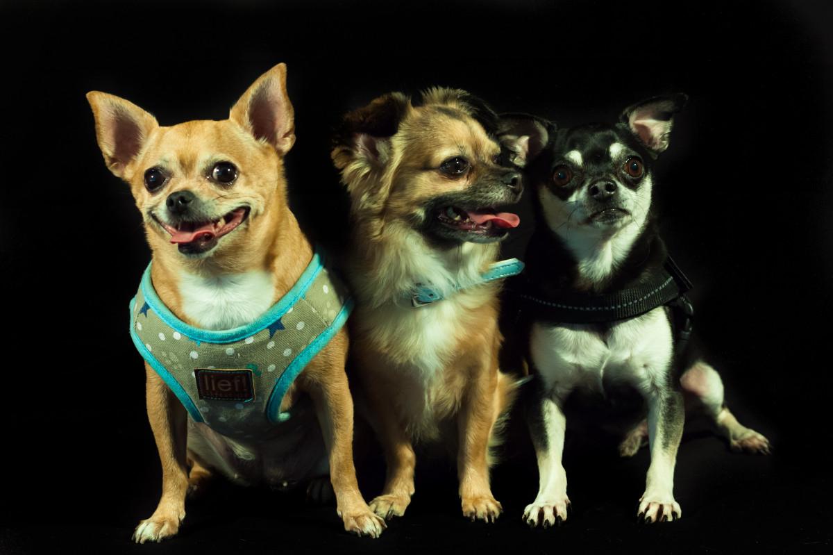 puppy dog mammal dogs three vertebrate chihuahua dog breed calhoun small dog breeds dog like mammal dog breed group