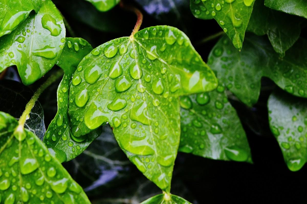 images gratuites arbre la nature feuille fleur goutte de pluie humide vert produire l. Black Bedroom Furniture Sets. Home Design Ideas