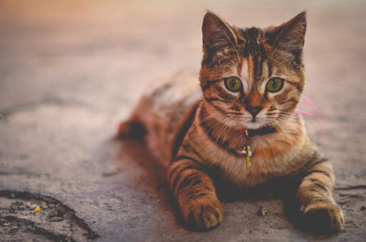 Free Images : animal, pet, fauna, close up, whiskers, eye ...