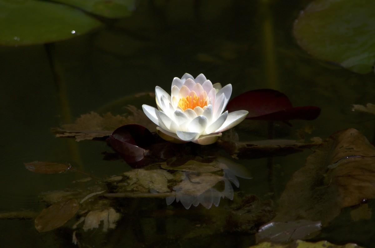 Free Images : Petal, Pond, Natural, Botany, Fish, Japan
