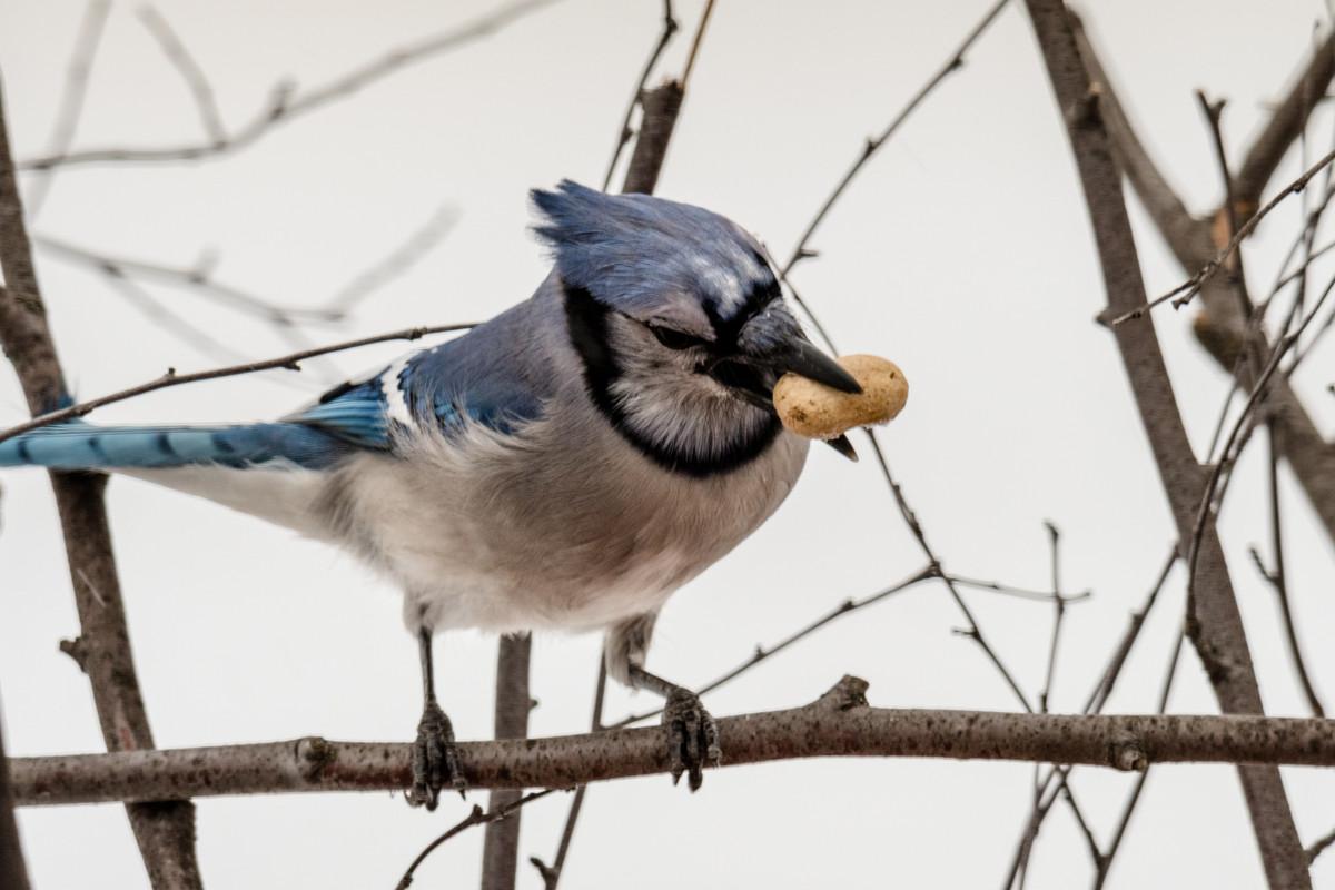 pájaro, arrendajo azul, vertebrado, pico, arrendajo, Pájaro encaramado, pájaro cantor, fauna silvestre, rama, ramita, Fotos gratis In PxHere