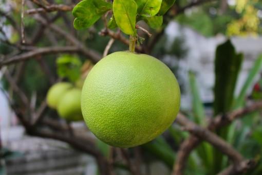 Thai pomelo fruit - Free Images & Free stock photos - PxHere