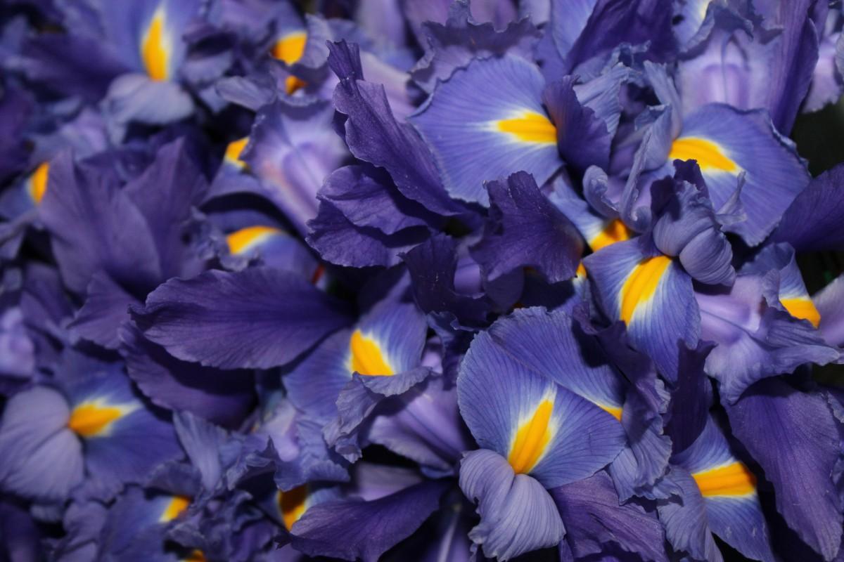 Gemeinsame Kostenlose foto : Natur, Blume, Blütenblatt, blau, Gelb, Garten #CM_85