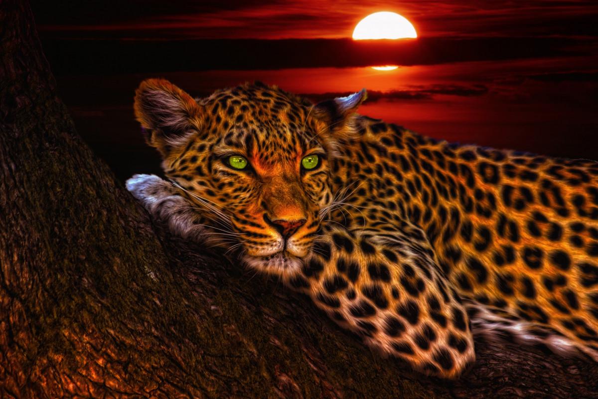 Free Images Hair Wildlife Pattern Leopard Big Cat