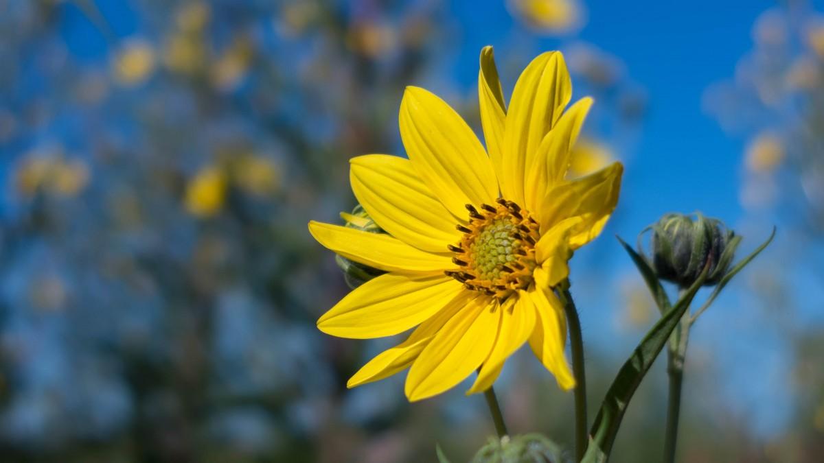 images gratuites fleur p tale botanique jaune flore pomme de terre fleur sauvage fermer. Black Bedroom Furniture Sets. Home Design Ideas