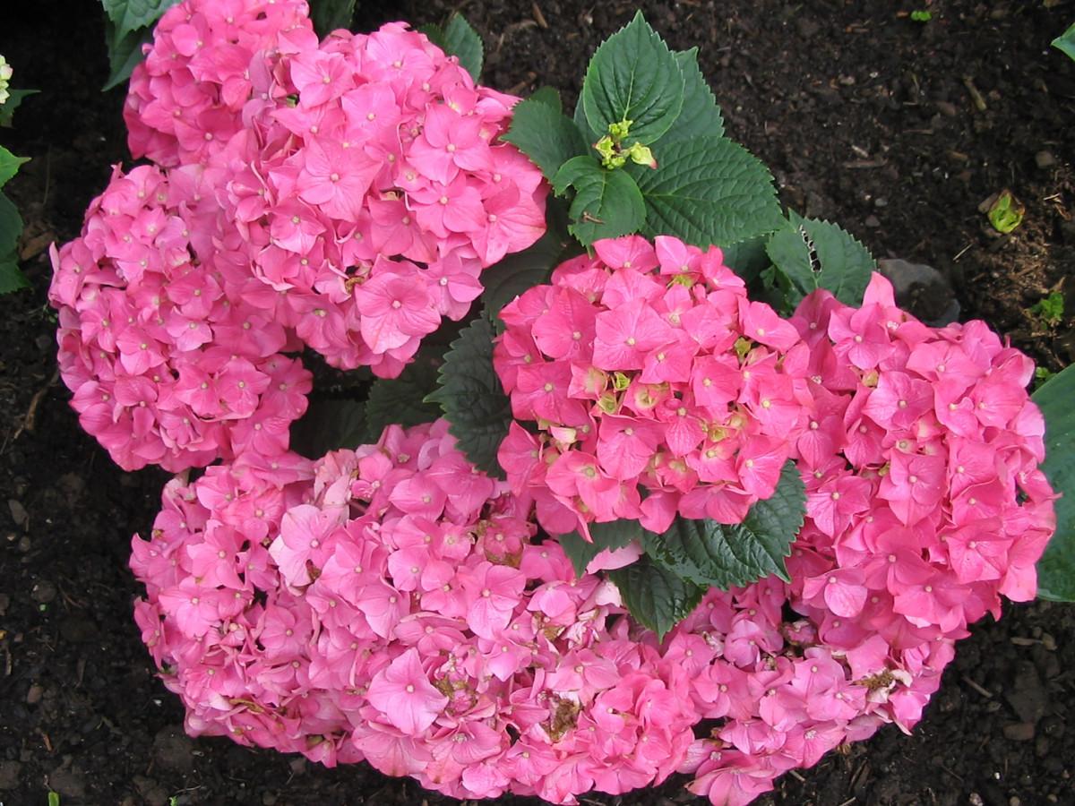 Gratis billeder gr spl ne blomst r d botanik bl farverig have lyser d flora - Quand planter des hortensias ...