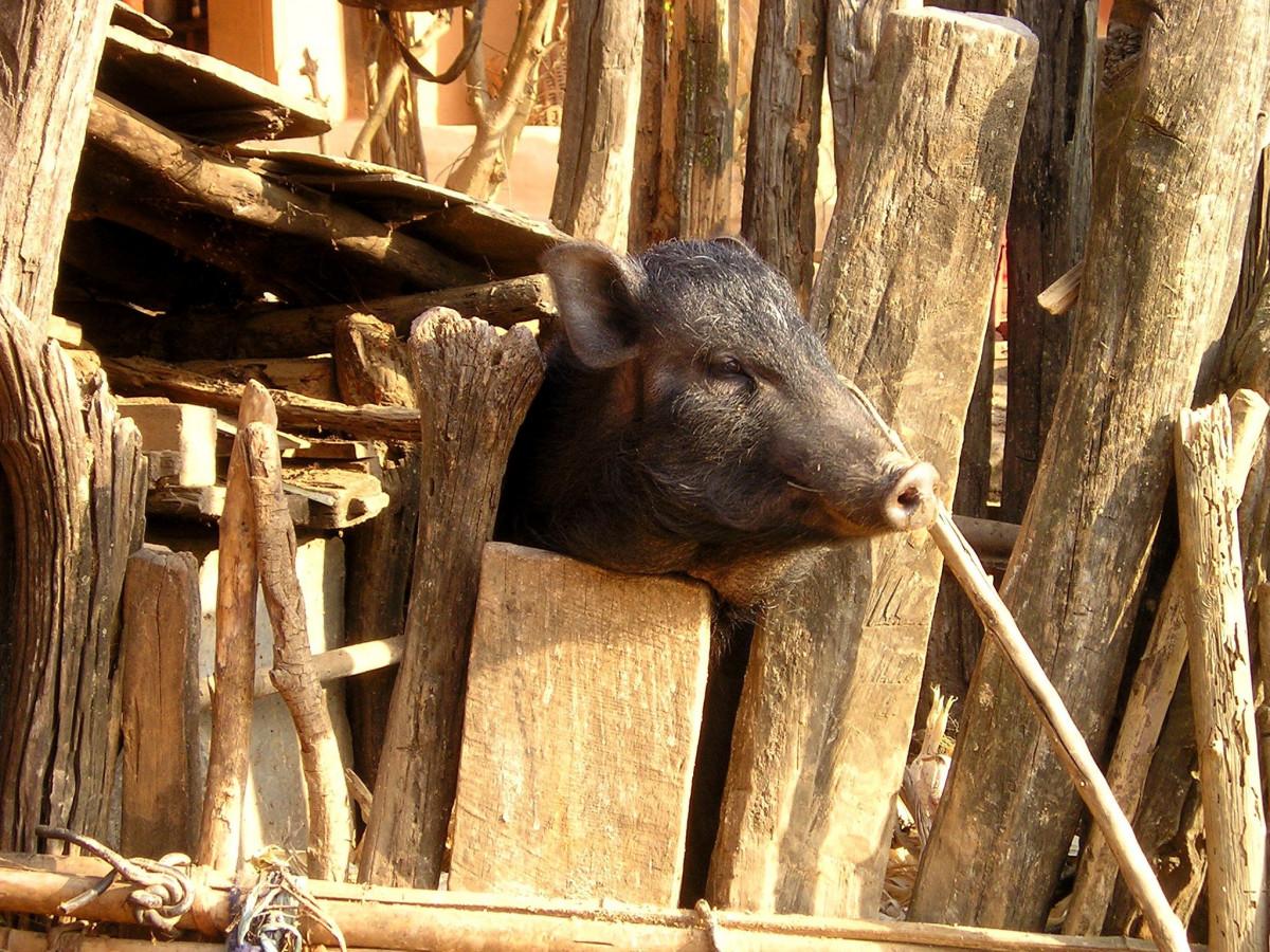 картинки свинья с рогами шеллак
