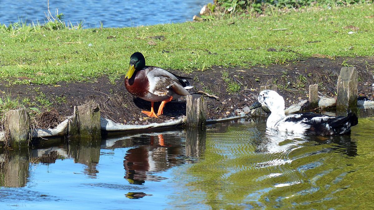 water bird pond wildlife fauna waterway poultry drake duck animals wetland waterfowl water bird mallard duck bird male mallard ducks geese and swans