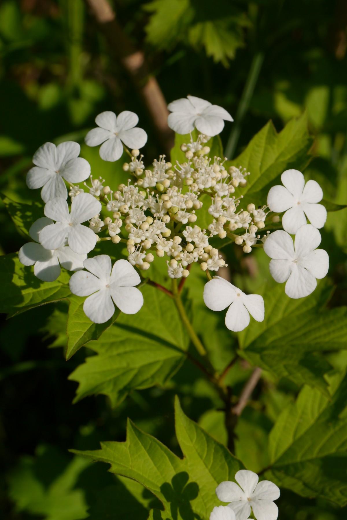 Дикая калина цветы
