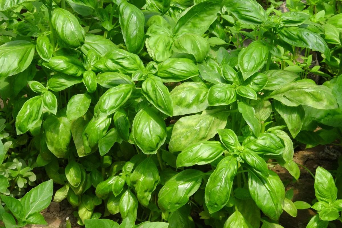 plante ferme aliments herbe produire légume jardin basilic des légumes biologique Légume-feuille Épinards malabars