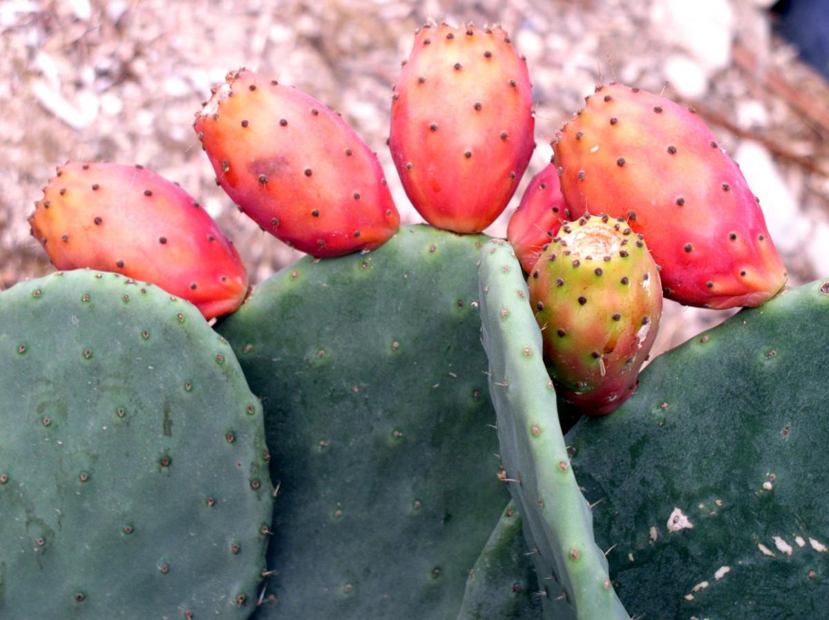 kostenlose foto baum kaktus frucht blume sommer lebensmittel mittelmeer produzieren. Black Bedroom Furniture Sets. Home Design Ideas