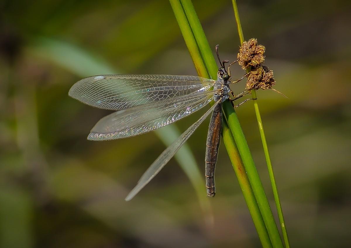 Images gratuites la nature aile la photographie faune insecte punaise invert br fermer - Insecte vert volant ...