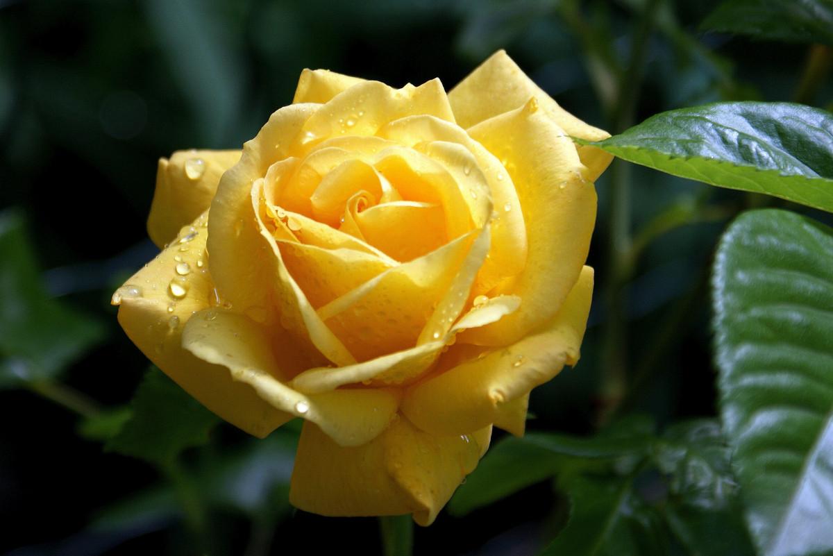 желтые розы фотографии невинномысске время работы